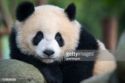 Giant Panda bear  (Ailuropoda melanoleuca)