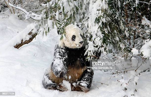 Giant panda bear Tai Shan tugs on a snowcovered bamboo branch at the Smithsonian National Zoological Park February 3 2010 in Washington DC Wednesday...