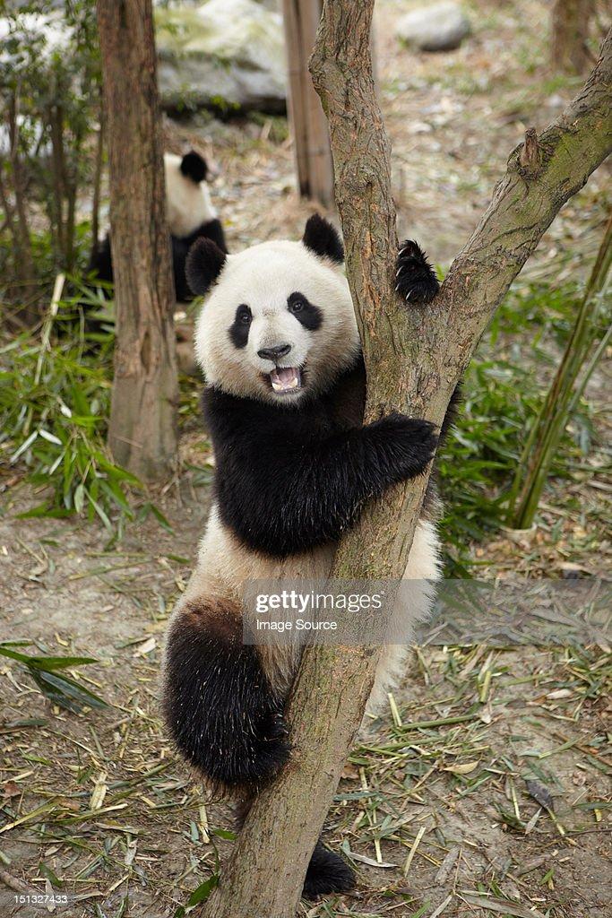 Giant Panda climbing a tree at the Chengdu Panda Breeding Research Center