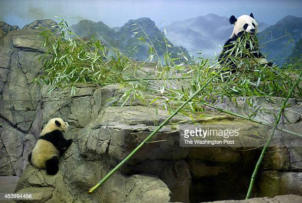 Giant panda cub Bao Bao left explores an enclosure as her mother Mei Xiang right eats in front of the media at Smithsonian National Zoological Park...