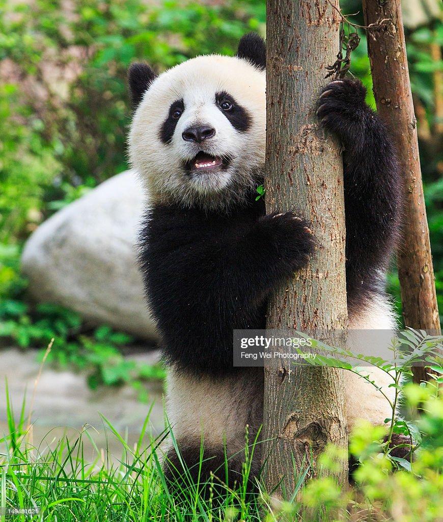 Giant panda cub hugging tree