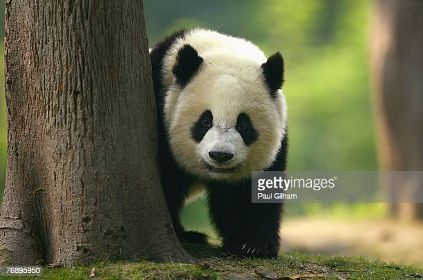 Giant Panda cub is seen on show at China's largest breeding Programme at Chengdu Research Base Of Giant Panda Breeding on September 19 2007 in...