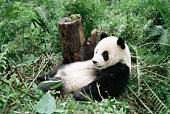 Giant panda cub resting (captive)
