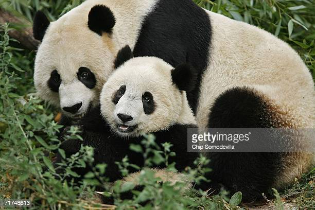 Giant Panda cub Tai Shan cuddles with his mother Mei Xiang while they eat melon balls in the morning at the Giant Panda Habitat at the Smithsonian...