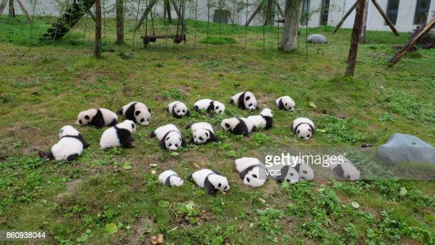 19 giant panda cubs all born this year meet the public at the Shenshuping Base of the China Conservation and Research Centre for the Giant Panda on...