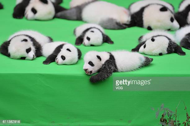 23 giant panda cubs make their debut to the public at Chengdu Research Base of Giant Panda Breeding on September 29 2016 in Chengdu China All the 23...