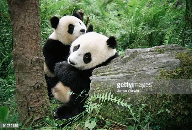 Giant panda cubs (captive)