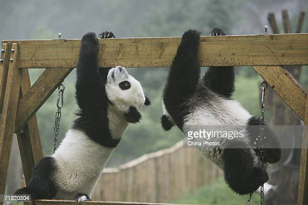 Giant panda cubs play at the China Giant Panda Protection and Research Centre home to about 80 artificially bred pandas on June 28 2006 in Wolong...