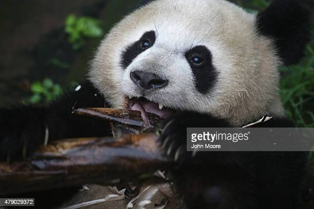 YA'AN CHINA JUNE 29 A giant panda eats bamboo at a panda research base on June 29 2015 in Ya'an China China's Sichuan province is home to the...