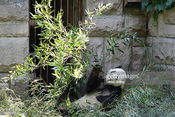 A giant panda eats bamboo at the Beijing Zoo on June 5 2012 in Beijing China With an estimated 1600 living in the wild the endangered giant panda...