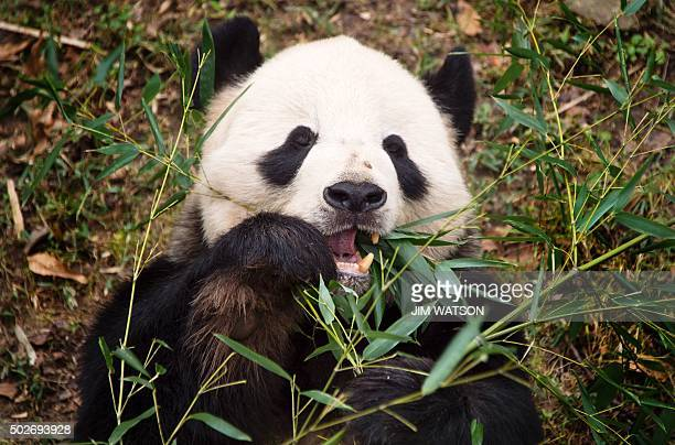 A Giant Panda eats bamboo at the Smithsonian National Zoological Park in Washington DC December 28 2015 AFP PHOTO / JIM WATSON / AFP / JIM WATSON