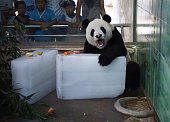 A giant panda eats on ice blocks which attracts visitors at a zoo on July 26 2016 in Wuhan Hubei Province of China Animals relieve themselves in hot...