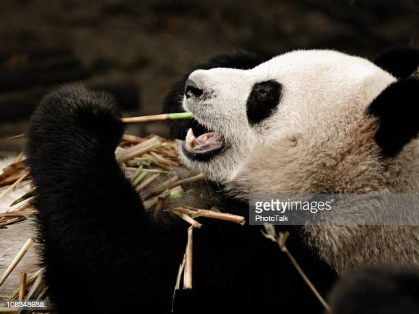 Giant Panda Enjoy Food - Large