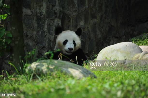 Giant panda Fubao is seen during its fourth birthday at Dujiangyan base of the Giant Panda Protection and Research Center of China on August 14 2017...
