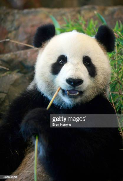 Giant panda Funi samples bamboo in her new enclosure at Adelaide Zoo on December 13 2009 in Adelaide Australia Two giant pandas Wang Wang and Funi...