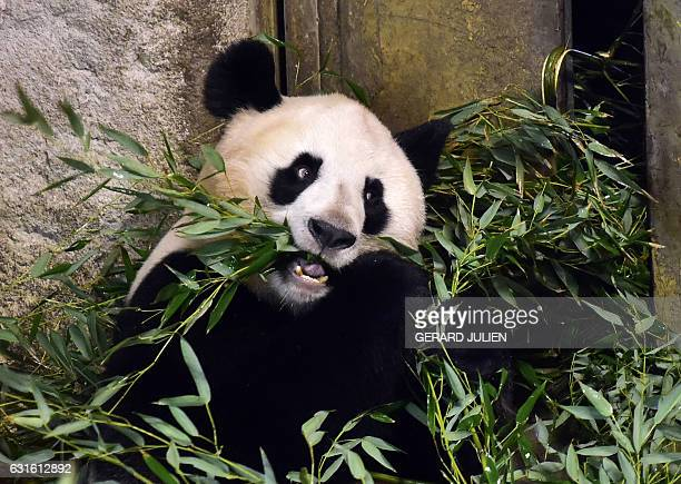 Giant panda Hua Zui Ba eats bamboo leaves inside its enclosure at the Zoo Aquarium of Madrid on January 13 2017 / AFP / GERARD JULIEN