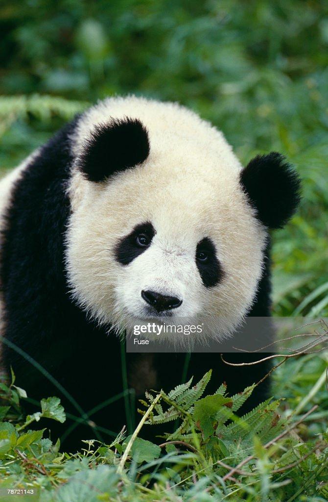 Giant Panda in Grass