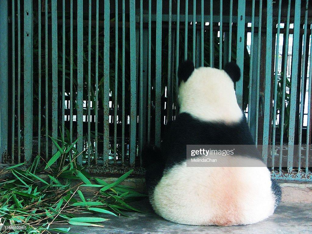 Giant panda in jail