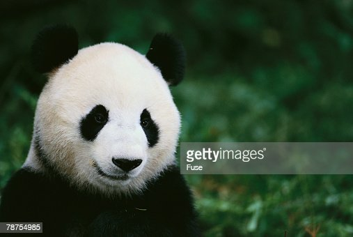 Giant Panda in the Forest