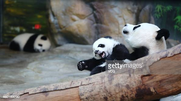Giant panda Juxiao plays with her cub one of the panda triplets at Chimelong Safari Park on December 9 2014 in Foshan China The world's only live...