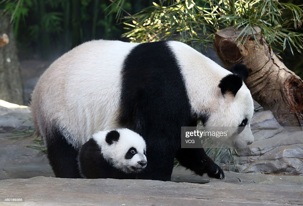Giant panda Juxiao plays with her cub, one of the panda triplets at Chimelong Safari Park on December 9, 2014 in Foshan, China. The world's only live giant panda triplets (two boys and one girl) started living together with their mother, giant panda Juxiao, after taking turns living with her since their birth at the Chimelong Safari Park on Tuesday. The triplets were born on July 29 and after over 100 days they now all weigh over 8 kg and are doing well. They will stay with their mother and meet with visitors at 13:00 - 15:00 and 16:00 - 18:00 from Tuesday.