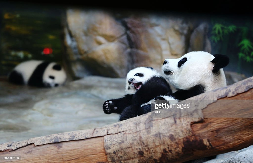 Giant panda Juxiao plays with her cub, one of the world's only alive panda triplets at Chimelong Safari Park on December 9, 2014 in Guangzhou, China. The world's only alive giant panda triplets (two boys and one girl) started living together with their mother giant panda Juxiao after taking turns living with her since their birth at the Chimelong Safari Park. The triplets were born on July 29 and now all weigh over 8 kg. They will stay with their mother and meet with visitors at 13:00-15:00 and 16:00 - 18:00 from Tuesday.