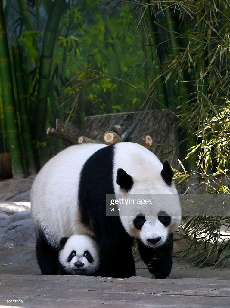 Giant panda Juxiao plays with her cub, one the world's only panda triplets, at Chimelong Safari Park on December 9, 2014 in Foshan, China. The world's only giant panda triplets (two males and a female) started living with their mother Juxiao after taking turns living with her since their birth at the Chimelong Safari Park on Tuesday. The triplets were born on July 29 and now weigh over 8 kg. They will stay with their mother and be viewed by visitors at 13:00 - 15:00 and 16:00 - 18:00 from Tuesday.