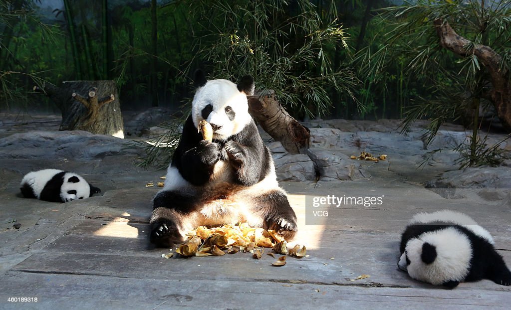 Giant panda Juxiao (C) sits between her cubs, the world's only live panda triplets at Chimelong Safari Park on December 9, 2014 in Foshan, China. The world's only live giant panda triplets (two boys and one girl) started living together with their mother, giant panda Juxiao, after taking turns living with her since their birth at the Chimelong Safari Park on Tuesday. The triplets were born on July 29 and after over 100 days they now all weigh over 8 kg and are doing well. They will stay with their mother and meet with visitors at 13:00 - 15:00 and 16:00 - 18:00 from Tuesday.