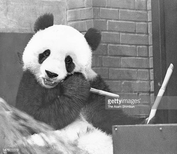 Giant panda Kang Kang eats a branch of sugar cane at Ueno Zoo on September 19 1973 in Tokyo Japan The two panda were gifted from China to celebrate...