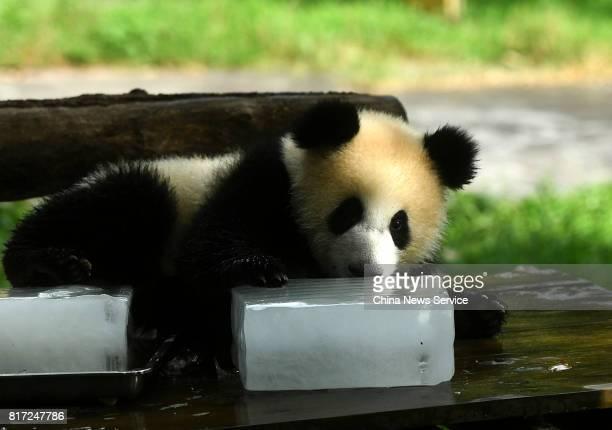 A giant panda lies beside ice blocks at Yangjiaping Zoo on July 18 2017 in Chongqing China Yangjiaping Zoo provided huge ice blocks for giant pandas...
