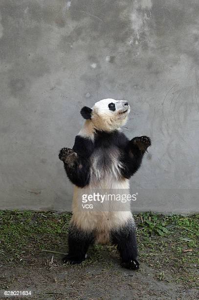 Giant panda Mei Huan stands at Chengdu Research Base of Giant Panda Breeding on December 06 2016 in Chengdu Sichuan Province of China American born...