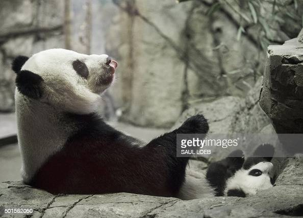 Giant Panda Mei Xiang and her cub Bei Bei born on August 22 sit inside their enclosure as Bei Bei makes his first media appearance at the Smithsonian...