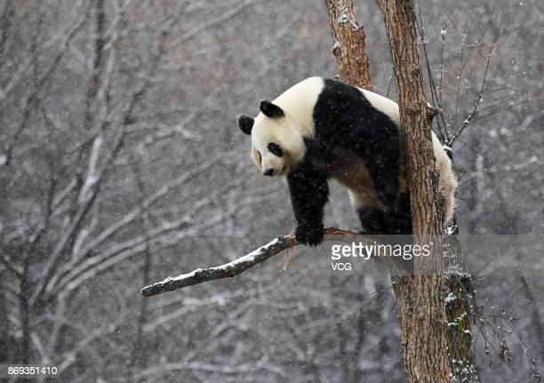 Giant panda Meng Meng plays in the snow at Siberian Tiger Park on November 2 2017 in Changchun Jilin Province of China Changchun welcomed its first...