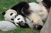 Giant panda with its cub Cuddle lying on the grass