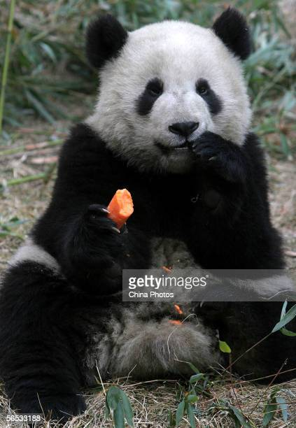A giant panda named No 16 eats at the Wolong China Giant Panda Protection and Research Center on January 6 2006 in Wolong of Sichuan Province China...