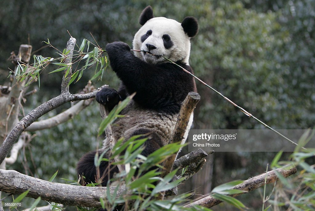 A giant panda named No 16 eats bamboo at the Wolong China Giant Panda Protection and Research Center on January 6 2006 in Wolong of Sichuan Province...