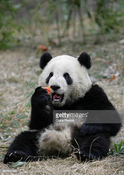 A giant panda named No 19 eats at the Wolong China Giant Panda Protection and Research Center on January 6 2006 in Wolong of Sichuan Province China...