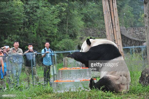 Giant panda Pan Pan sits nerxt to a frozen cake during its 30th birthday celebration at the China Conservation and Research Center for the Giant...