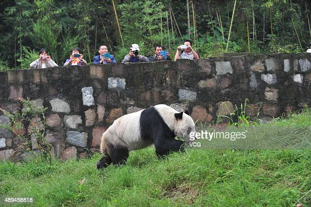 Giant panda Pan Pan walks during its 30th birthday celebration at the China Conservation and Research Center for the Giant Panda on September 21 2015...