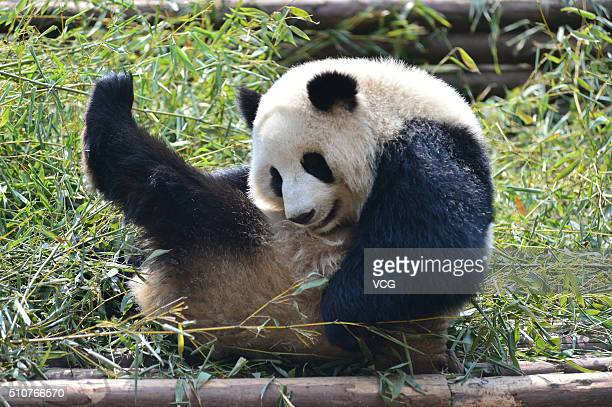 A giant panda plays on bamboos at noon in Chengdu Research Base of Giant Panda Breeding on February 16 2016 in Chengdu Sichuan Province of China
