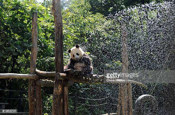 A giant panda recently transferred from the 'Wolong Giant Panda Protection and Research Centre' is sprayed with water as it rests in its enclosure at...