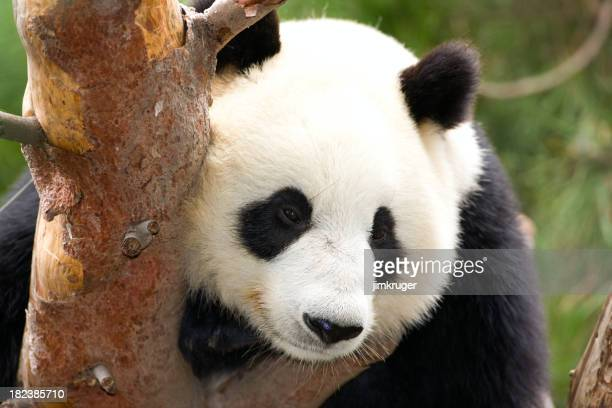 Giant panda resting in tree, high res original file.
