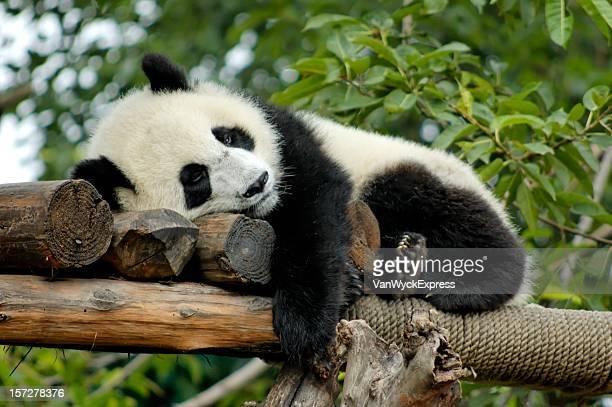 Giant Panda resting