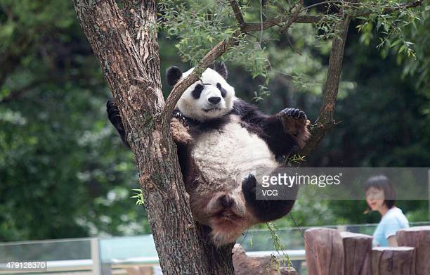 A giant panda rests in a tree in the panda house of the Siberian Tiger Park on July 1 2015 in Changchun China A pair of giant pandas from the China...