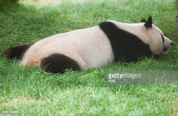 A giant panda rests in the panda house of the Siberian Tiger Park on July 1 2015 in Changchun China A pair of giant pandas from the China...