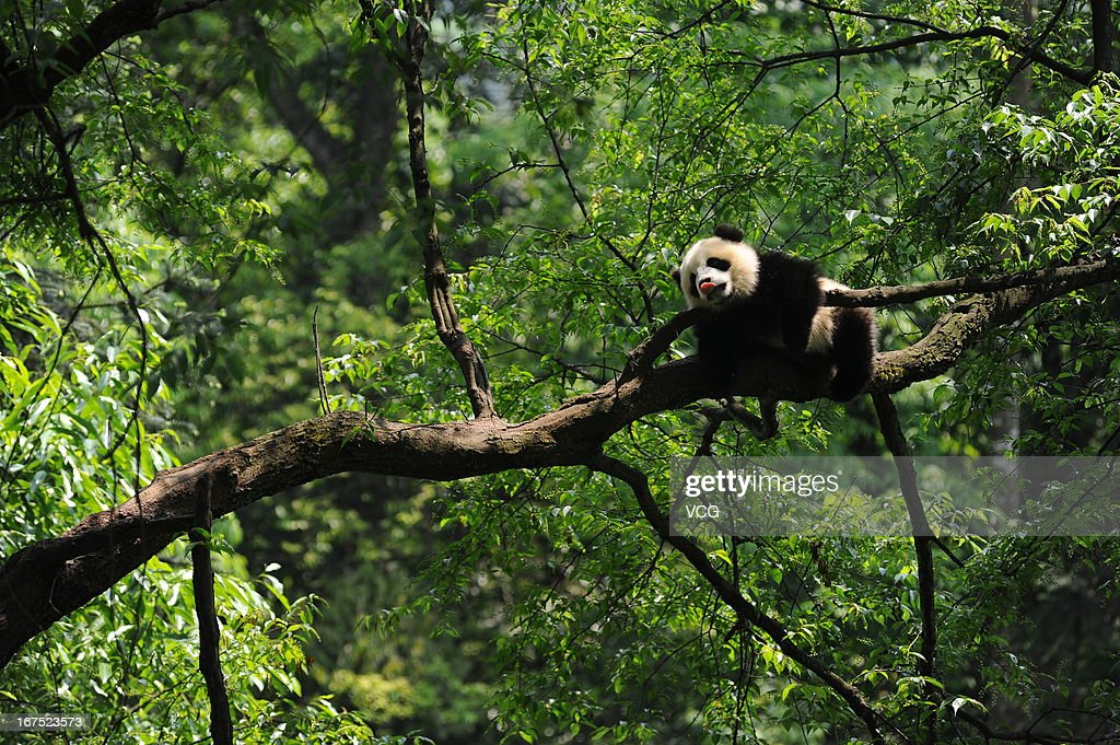 YA'AN, CHINA - APRIL 26: (CHINA OUT) A giant panda sticks his tongue out while resting in a tree at the Ya'an Bifengxia Base of the China Conservation and Research Centre for the Giant Panda on April 26, 2013 in Ya'an, China.