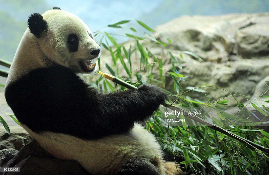 Giant panda Tai Shan eats bamboo in his enclosure on February 1 2010 at the Smithsonian's National Zoo in Washington The National Zoo has announced...