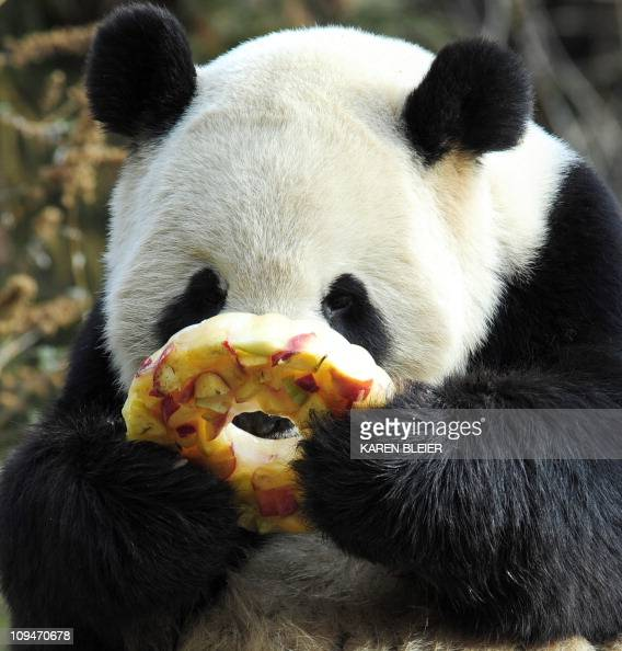 Giant Panda Tian Tian enjoys a fruitcicle January 20 2011 at the Smithsonian Institution's National Zoo in Washington DC The snack is made with...