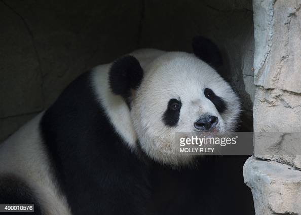 Giant Panda Tian Tian rests after an event featuring First Lady Michelle Obama and Madame Peng Liyuan First Lady of the People's Republic of China at...