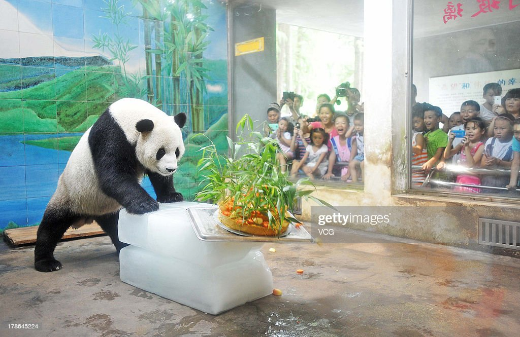 Giant panda Wei Wei prepares to eat a cake at Wuhan zoo on August 29, 2013 in Wuhan, China. Wuhan zoo held an event to celebrate panda Wei Wei's 8th birthday with a cake made from water, soybean, bamboo, corn, apple, and carrot.